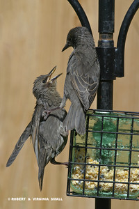 IT'S MY TURN!   STARLING FLEDGLINGS