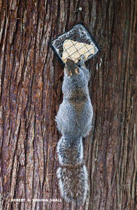 ANY GUESS AS TO HOW THIS GRAY SQUIRREL GOT SUCH AN OBVIOUS CRIMP IN ITS TAIL?