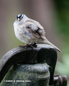 PUFFED UP WHITE-CROWNED SPARROW ON OUR OLD SCHOOL BELL ON THE FRONT PORCH