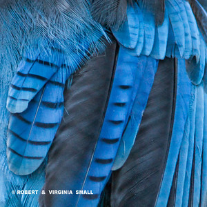DETAIL OF THE FEATHERS OF THE STELLER'S JAY