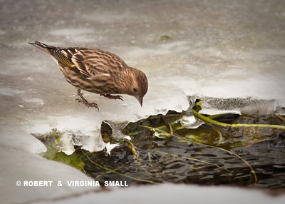 A PINE SISKIN CAME INTO OUR FROZEN POND FOR A COLD DRINK.