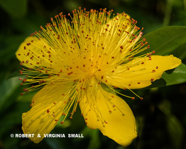 IT'S THE BLOSSOM OF ST. JOHN'S WORT