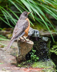 AN EARLY SPRING ROBIN CONTEMPLATING THE POND IN OUR GARDEN