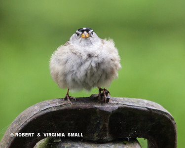 ARE YOU LOOKIN' AT ME???  WHITE CROWNED SPARROW ALL PUFFED UP AND PERCHED ON OUR SCHOOL BELL ON THE FRONT PORCH
