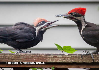 BEST NOT TO THINK ABOUT IT - JUST DO IT!  A MALE PILEATED WOODPECKER AND ITS MALE FLEDGLING, WHOSE CROWN HASN'T YET ACQUIRED THE BRILLIANT RED COLOR OF MATURITY.