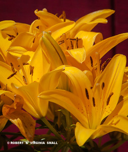 AN EXPLOSION OF SUN-BRIGHT LILIES LIGHTING UP THE SIDE DECK