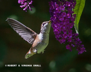 THE NECTAR AND COLOR OF THE PURPLE BUTTERFLY BUSH BLOSSOM DRAWS THIS RUFOUS HUMMINGBIRD TO A SWEET SNACK.