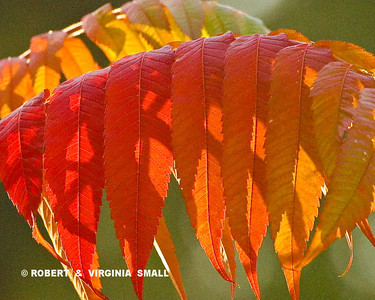 SUMAC LEAVES IN FIERY AUTUMN COLOR