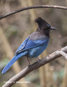 FOUR STELLER'S JAYS CAME IN TOGETHER FOR A WHILE THE OTHER DAY, CHATTERING AWAY ALL THE WHILE IN THE SERVICEBERRY TREE