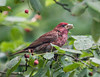 A PAIR OF PURPLE FINCHES SPENT SOME TIME EATING THE BERRIES OF OUR SERVICEBERRY TREE - HERE'S THE MALE