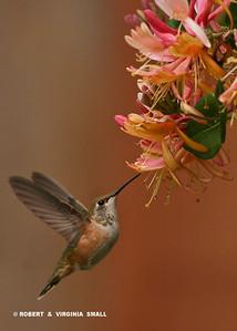 RUFOUS HUMMINGBIRD AT HONEYSUCKLE