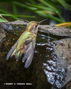 RUFOUS HUMMINGBIRD ENJOYING A QUIET MOMENT TO DRINK AND PERHAPS TO BATHE AT ONE OF THE BUBBLERS BY OUR POND.
