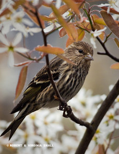 RARELY STILL AND QUIET, A PINE SISKIN RESTING A MOMENT IN OUR SERVICEBERRY TREE