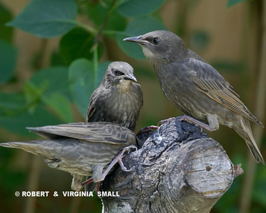 EUROPEAN STARLING JUVENILES (Stump diving?)