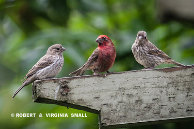 PURPLE FINCH WITH TWO OF ITS FLEDGLINGS.  UNFORTUNATELY, THE PARENT SHOWS SIGNS OF DISEASE ON ITS BILL AND LEFT EYE.