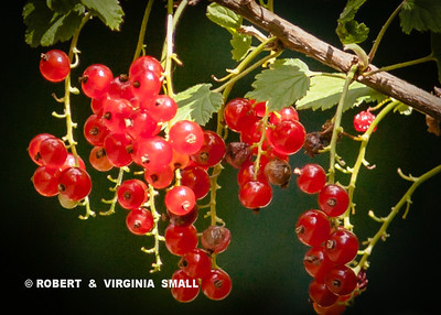 THE CEDAR WAXWINGS, THE FINCHES AND THE CHICKADEES ALL ENJOYED OUR RED CURRANTS THIS YEAR, SOME PERHAPS FOR THE FRUIT FLIES AS MUCH AS FOR THE BERRIES THEMSELVES . . .