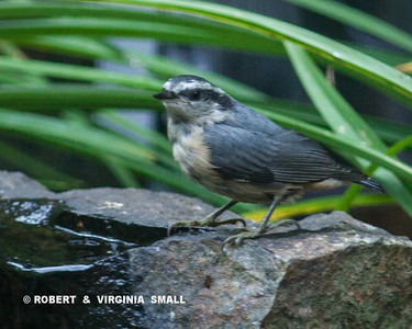 A LITTLE RED-BREASTED NUTHATCH, RECENTLY FLEDGED, CAME IN FOR WATER AND A DIP THIS MORNING
