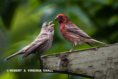 HOW CUTE IS THAT LITTLE FINCH BEGGING FROM ITS MALE PURPLE FINCH PARENT!