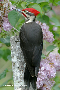 PILEATED WOODPECKER AND LILACS