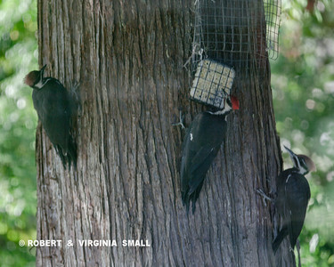 PILEATED WOODPECKERS FREQUENT OUR GARDENS OFTEN, THIS ONE WITH TWO FLEDGLINGS ON THE CEDAR TREE OUT FRONT