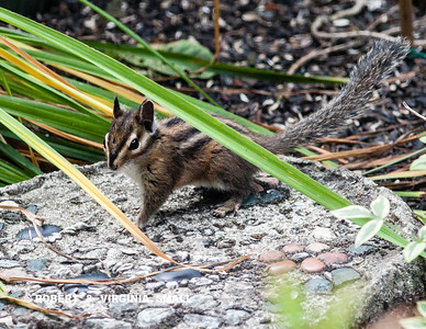 This little Townsend's Chipmunk must have run a three-minute mile all  within a nine foot square area of the side garden in world record time!