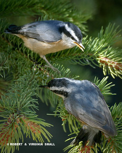 RED-BREASTED NUTHATCH FLEDGLINGS
