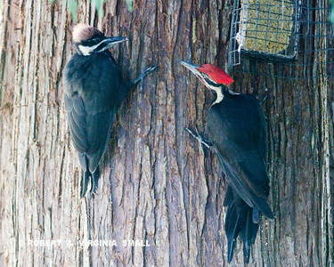 AN ADULT MALE PILEATED WOODPECKER AND A JUVENILE STOP BY FOR A SUET TREAT ON OUR RED CEDAR TREE.