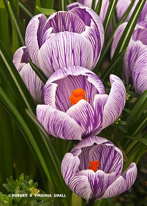 STRIPED CROCUSES, a winning image in the 2011 Nature's Best Photography Magazine competition