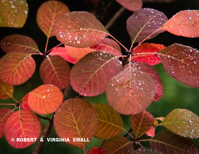 LIKE CANDY TO OUR EYES ARE THE LEAVES  OF THIS SMOKE BUSH IN OUR GARDEN