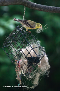 FEMALE AMERICAN GOLDFINCH GATHERING NESTING MATERIAL FROM THE CONTAINER THAT WE HANG IN THE SERVICEBERRY TREE