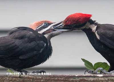HOW DOES A PILEATED WOODPECKER FEED ITS YOUNG?  IT REALLY JUST GETS INTO . . . THE JOB!