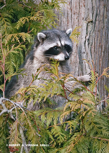 YOUNG RACCOON IN  A CEDAR TREE OVERLOOKING OUR GARDENS