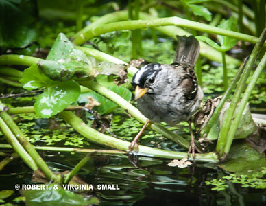 FLEDGLING WHITE-CROWNED SPARROW ON THE POND