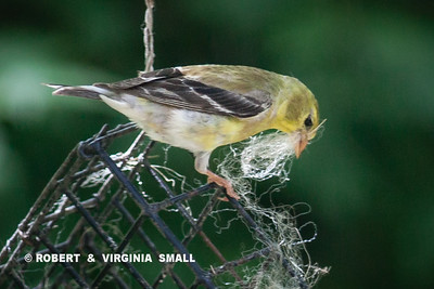 CLOSER LOOK AT THE AMERICAN GOLDFINCH GATHERING NESTING MATERIAL