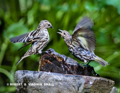 A VERY HUNGRY YOUNG PINE SISKIN BEGGING FROM PARENT