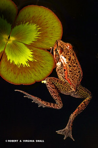 RED-LEGGED FROG ON WATER CLOVER, a winner in 2010 Nature's Best Magazine's Annual 'Backyard Photo Competition'.