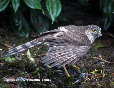 THIS SHARP-SHINNED HAWK SWOOPED INTO OUR GARDEN THIS MORNING AND TOOK DOWN A EURPEAN STARLING.  THE SHARP-SHINNEDS NOT ONLY STRIKE IN FLIGHT BUT OFTEN CREEP AROUND THROUGH THE SHRUBS AND HUNT ON THE GROUND TOO.