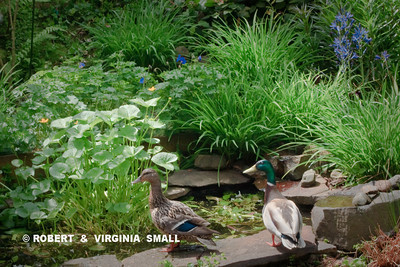 MALLARD PAIR VISITING OUR POND THIS SPRING