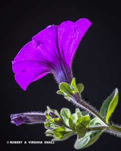 JUST A LONELY LITTLE PURPLE PETUNIA