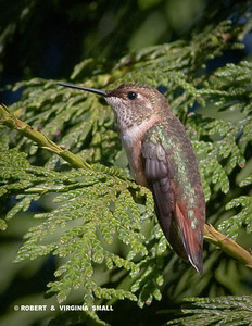A COAT OF MANY COLORS ON A FEMALE RUFOUS HUMMINGBIRD