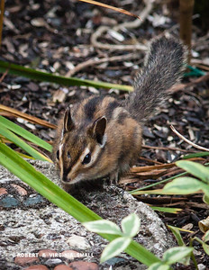 We've had a world of squirrels here but this is the very first chipmunk to visit our gardens in over a dozen years - a welcome little delight!
