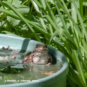 RED-LEGGED FROG ENJOYING A PEACEFUL SOAK  AT HIS SPA . . .