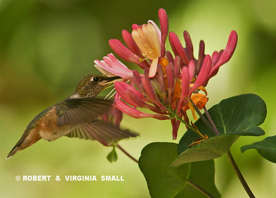 RUFOUS HUMMINGBIRD DRAWING NECTAR FROM HONEYSUCKLE