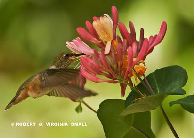 RUFOUS HUMMINGBIRD DRAWING NECTAR FROM HONEYSUCKLE
