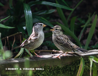 JUST FLEDGED WHITE-CROWNED SPARROW BEGS FOR FOOD FROM ITS PARENT