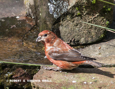 RED CROSSBILL WITH  A DAMAGED UPPER BILL.  This crossbill came to our pond for water yesterday.  It was with a darker bird that we were unable to identify.  We will keep a watch out for them again . . .