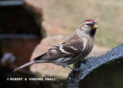 COMMON REDPOLL  (UP CLOSE )