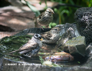 WHITE-CROWNED SPARROW AND TWO FLEDGLING BATHING BEAUTIES
