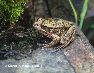 This  Red-legged Frog is almost a golden color - unusual here.
