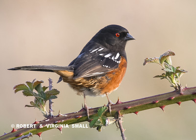 YOU JUST MUST SMILE WHEN YOU SEE THE PERKY LITTLE SPOTTED TOWHEE IN THE OPEN LIKE THIS - THEY USUALLY SCURRY HURRIEDLY INTO THE LEAVES AND SHADOWS AT THE SLIGHTEST SOUND OR MOTION.